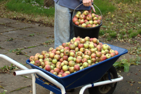 Collected apples